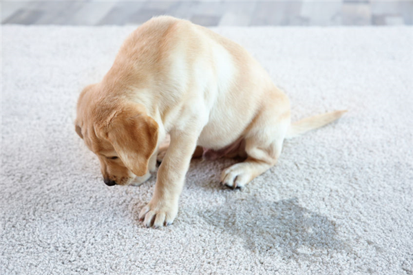 Is It Possible to Permanently Remove Pet Odors from Your Home?